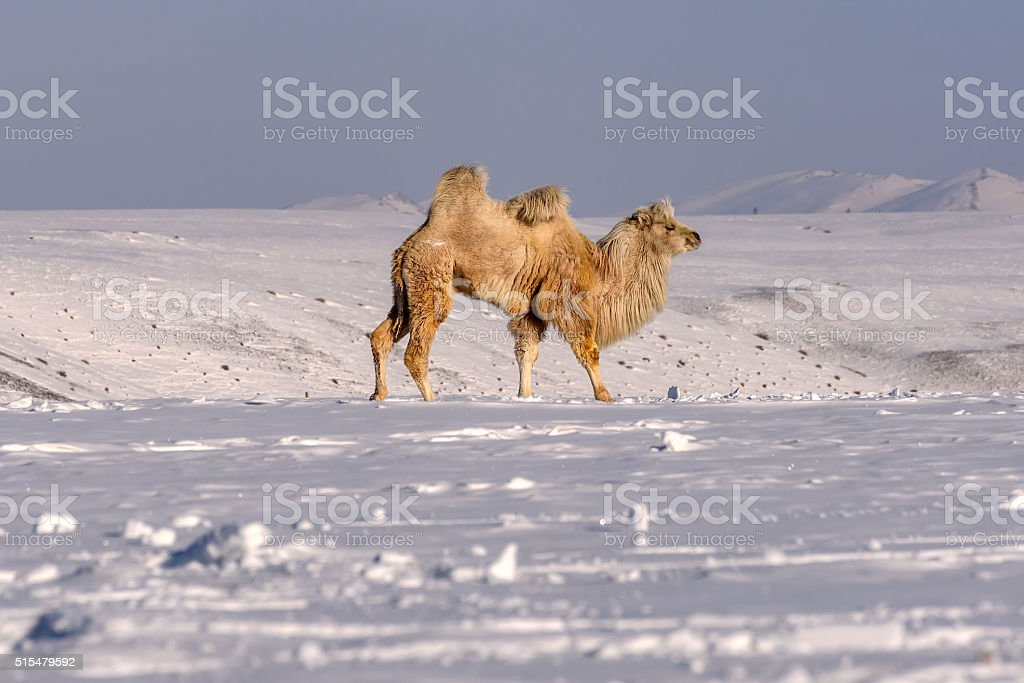 camels mountains snow winter graze stock photo