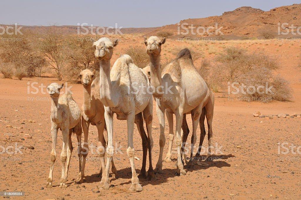Camels near the ruins of Naqa, old Kingdom of Kush, Sudan stock photo