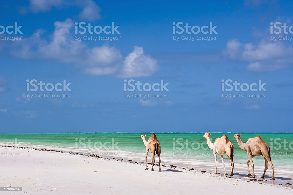 Camels on Paradise Beach stock photo