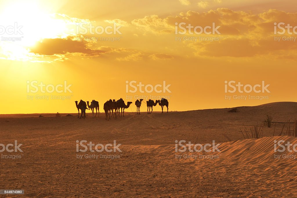 Camels on Sahara Desert stock photo