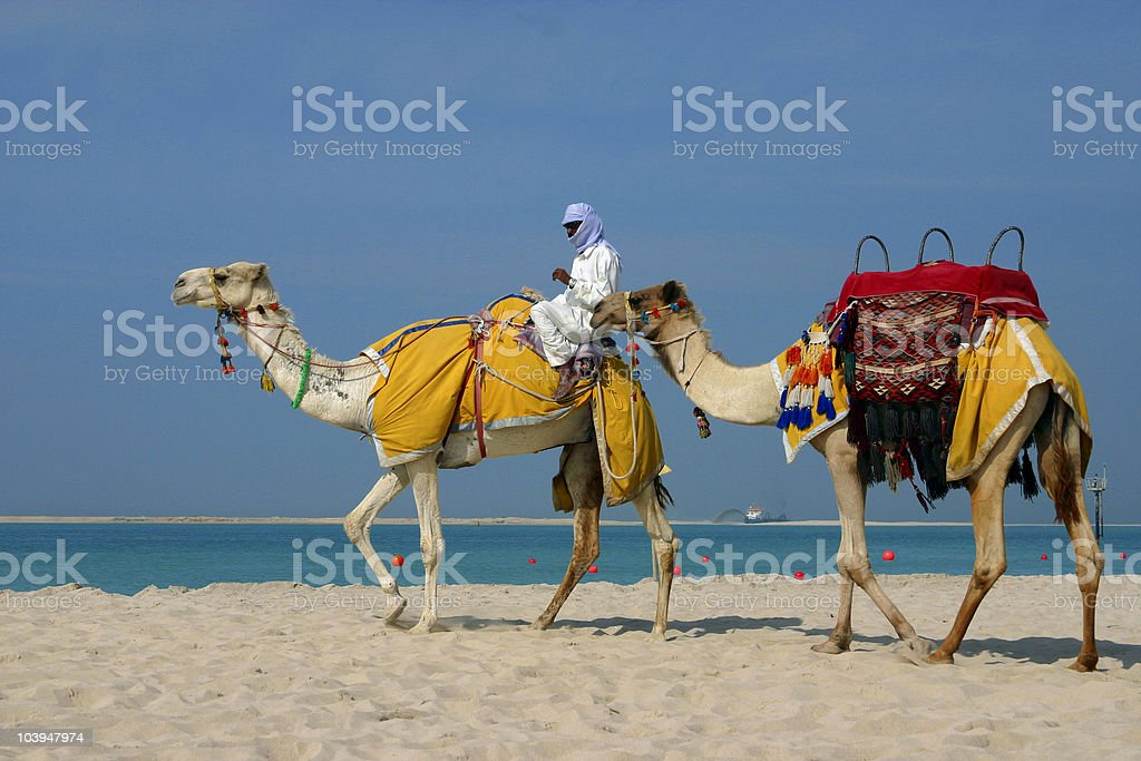 Camels on the beach at Jebel Ali in Dubai. stock photo