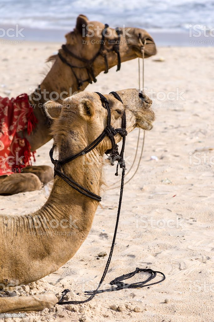 Camels on the beach. royalty-free stock photo