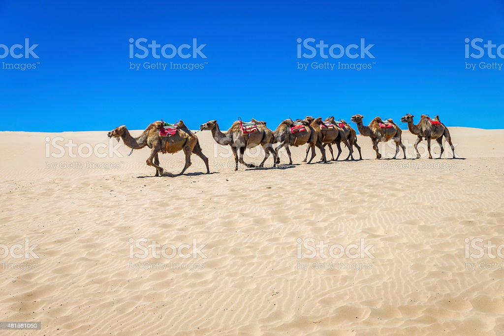 Camels on the desert, Ningxia, China stock photo