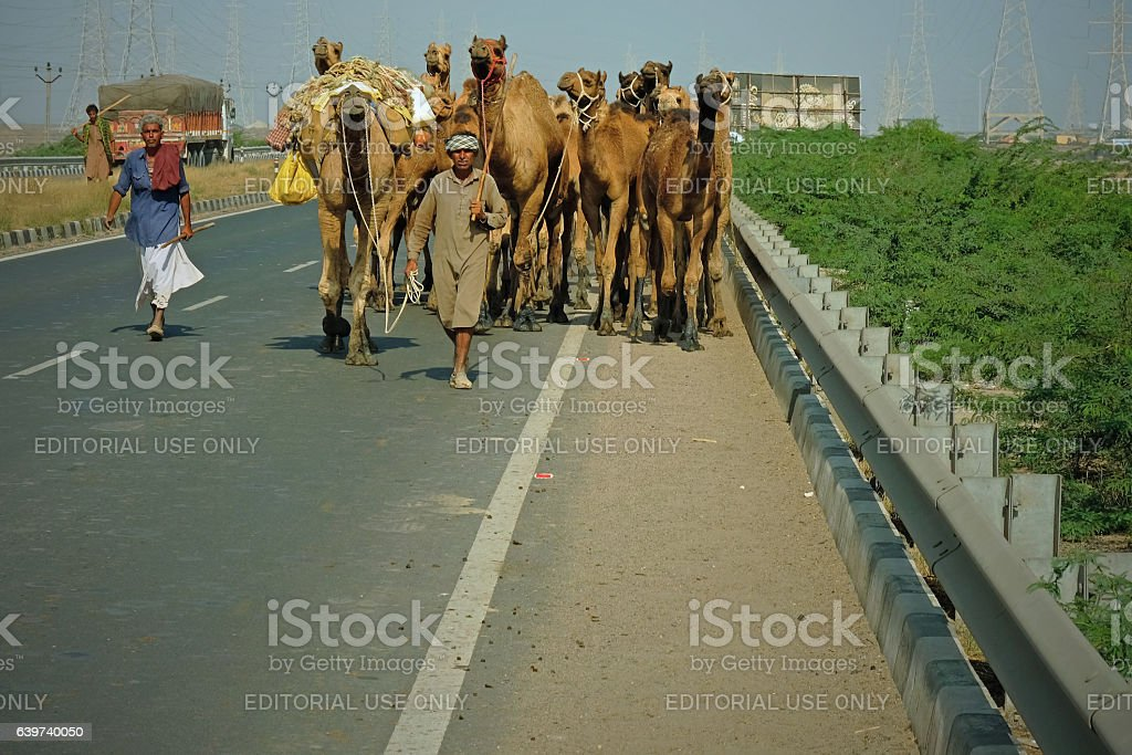 Camels on the highway in Gujarat stock photo