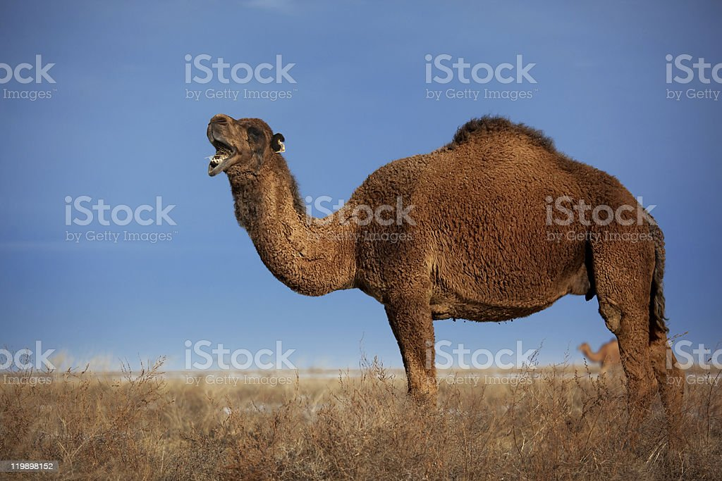 Camels on winter desert stock photo