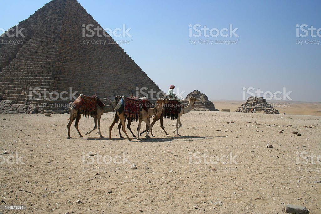 Camels royalty-free stock photo