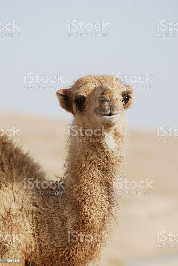 camel's portrait stock photo