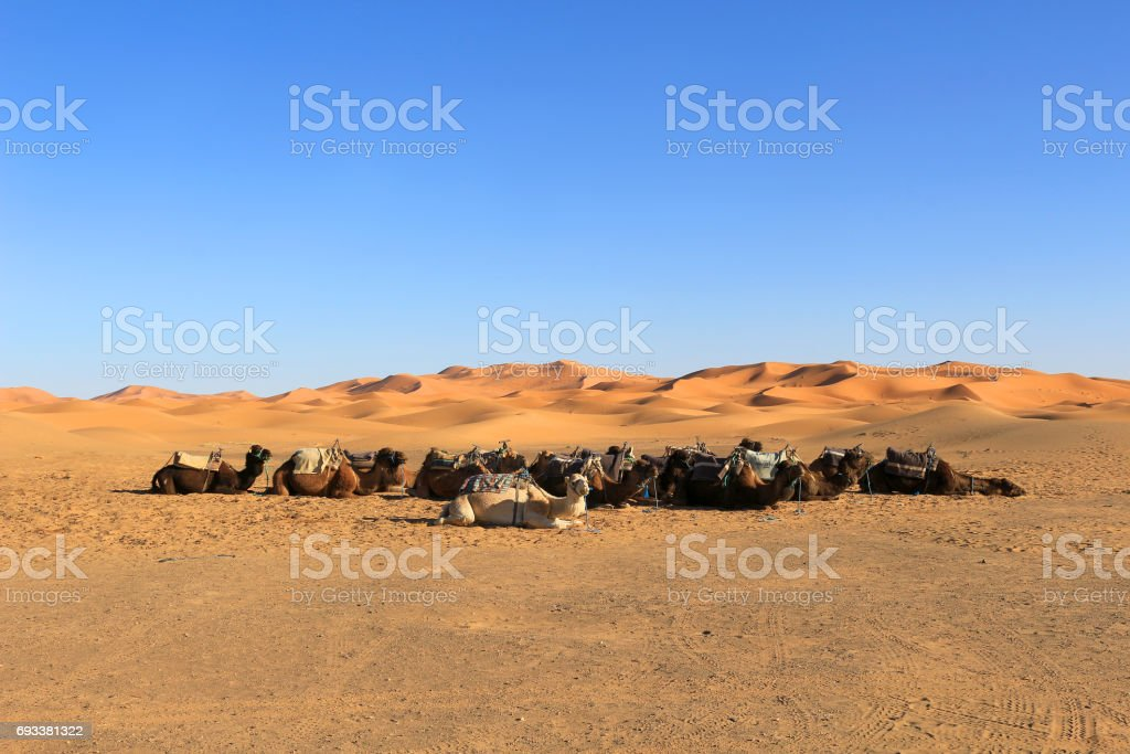Camels resting at the foot of the Erg Chebbi Dunes at Merzouga in the Sahara desert stock photo