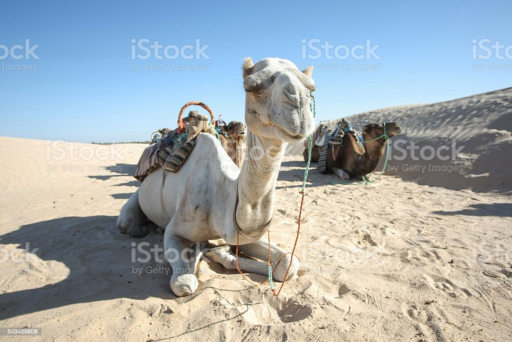 Camels resting in Sahara stock photo