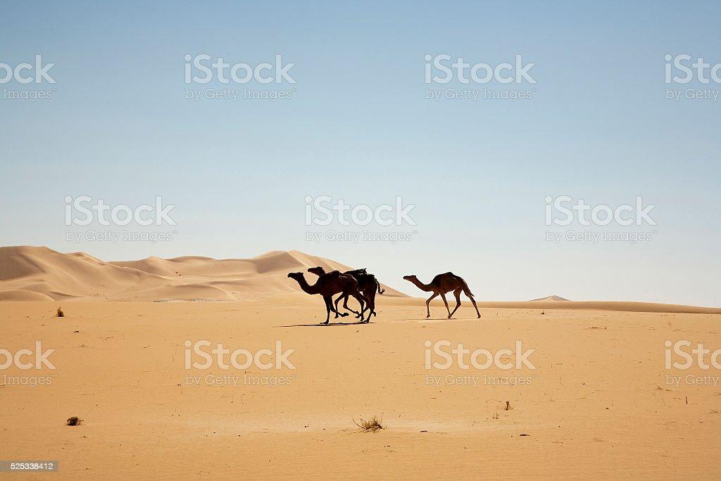 Camels running free in Desert stock photo