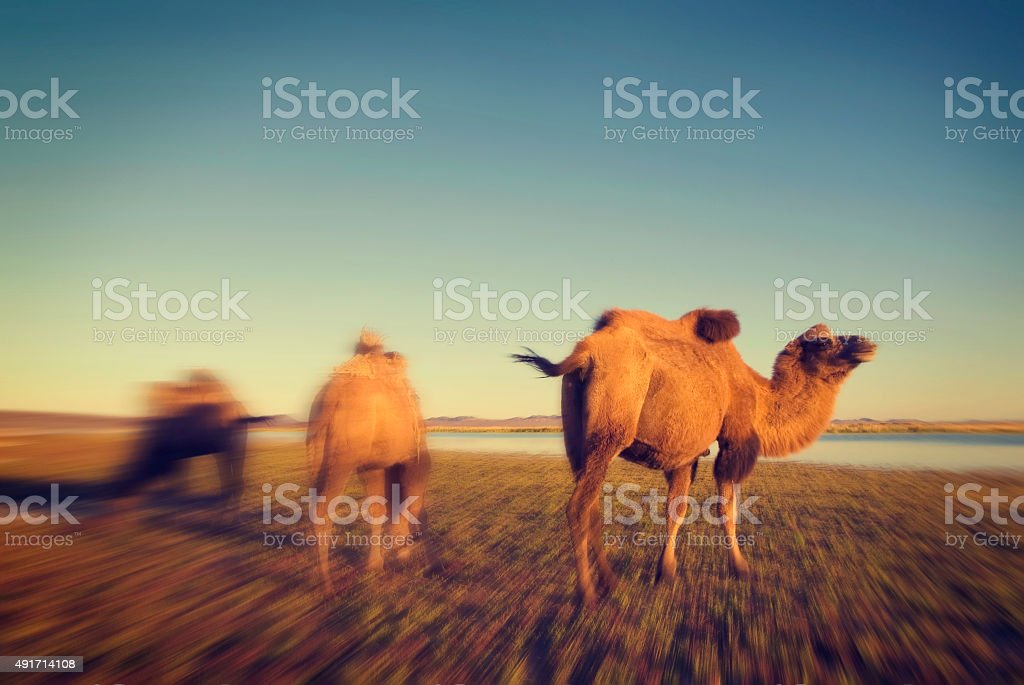 Camels Scenic Nature Animals Travel Concept stock photo