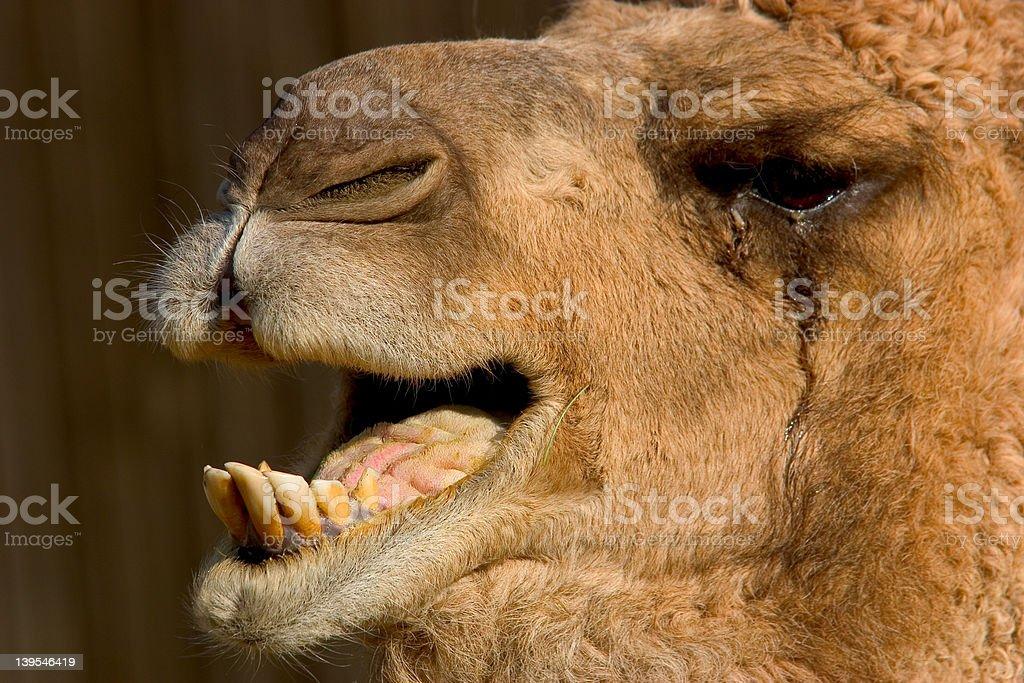 Camel's teeth royalty-free stock photo