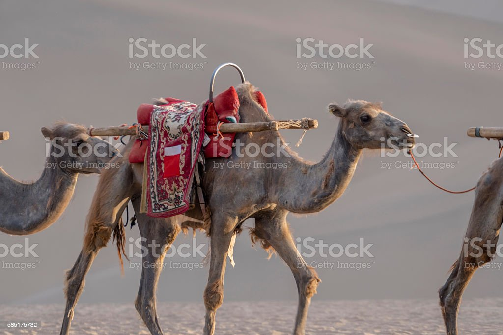 camels walking on desert stock photo