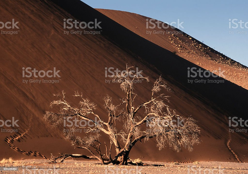 Camelthorn at Dune 45, Namib Desert stock photo