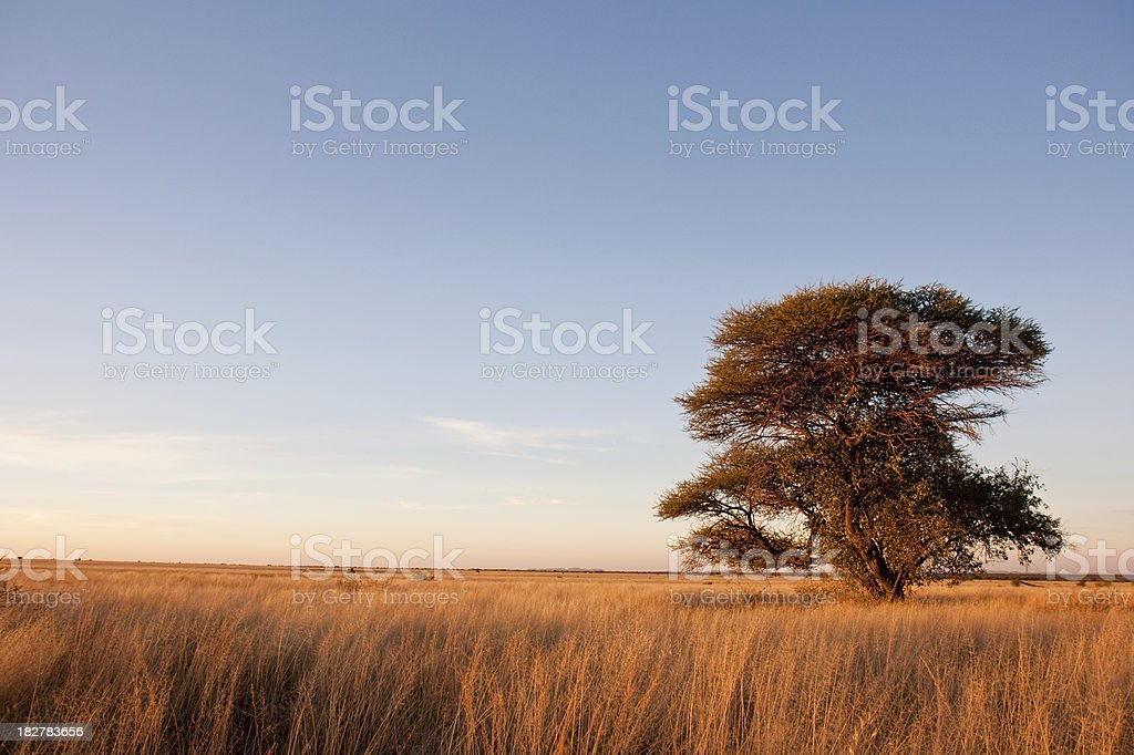 Camelthorn tree in Africa savanna royalty-free stock photo