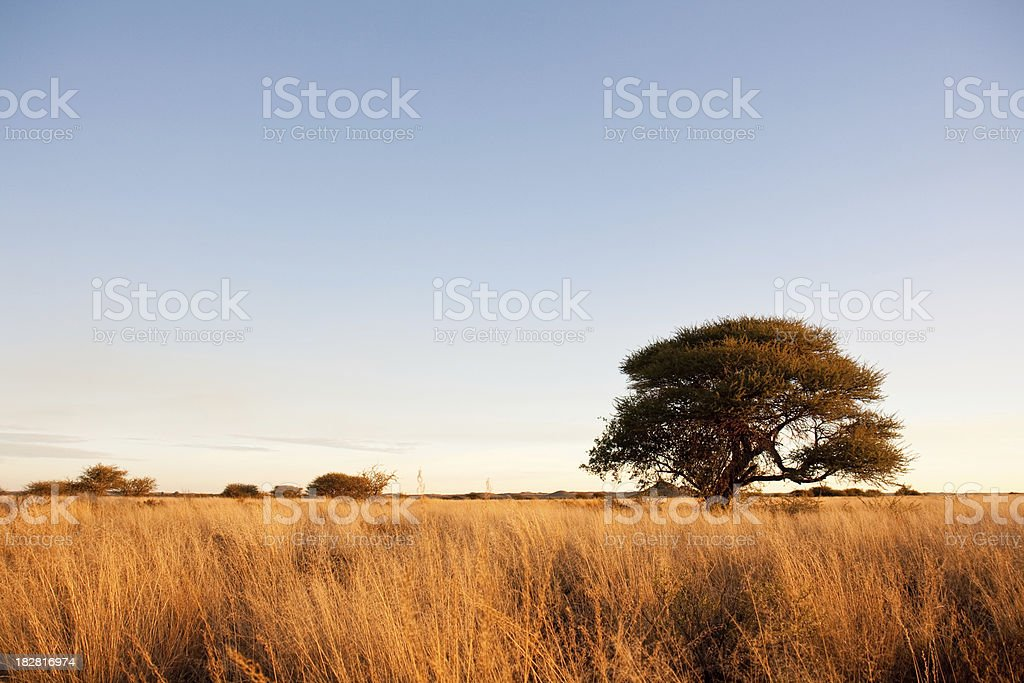 Camelthorn tree in Africa savanna stock photo