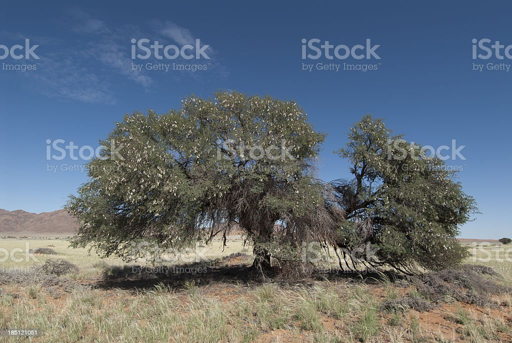 camelthorn tree in namibia stock photo