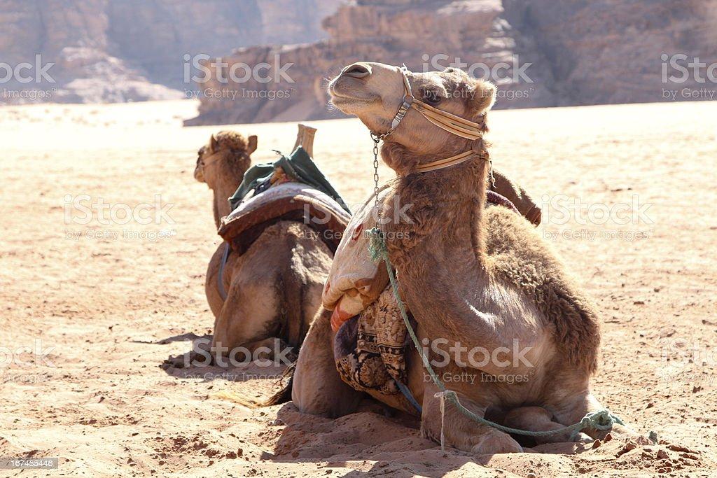Camelus bactrianus royalty-free stock photo