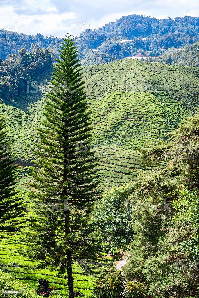 Cameron highlands, Malaysia stock photo