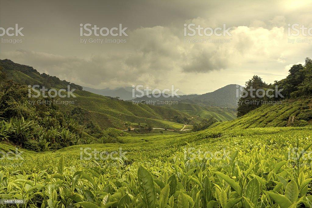 Cameron Highlands stock photo