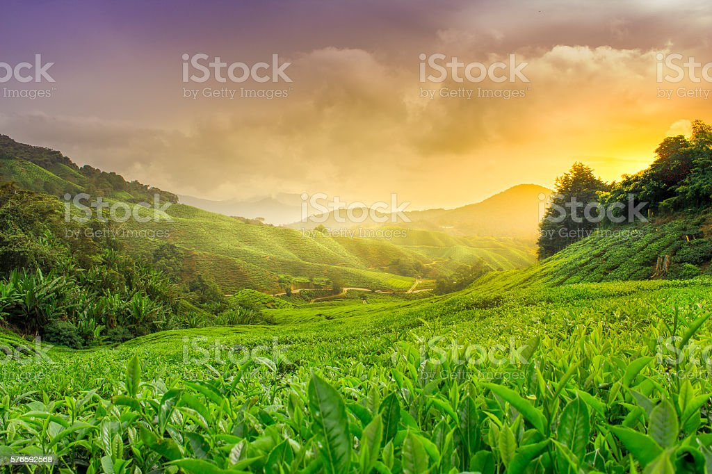 Cameron Highlands stock photo
