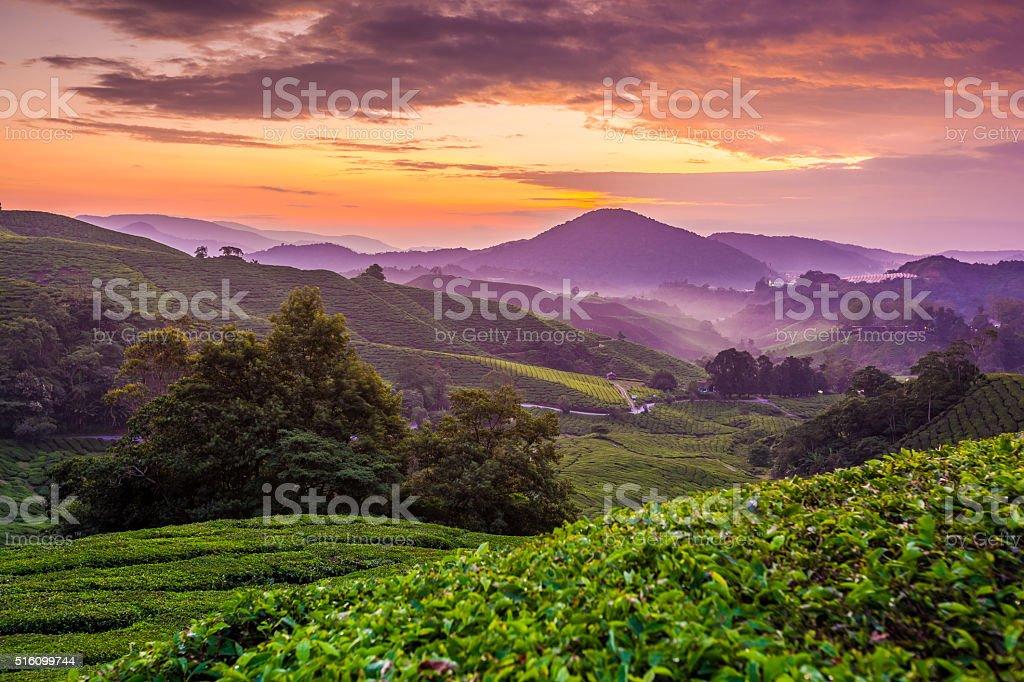 Cameron Highlands tea plantation at dawn with cloudy sky 4 stock photo