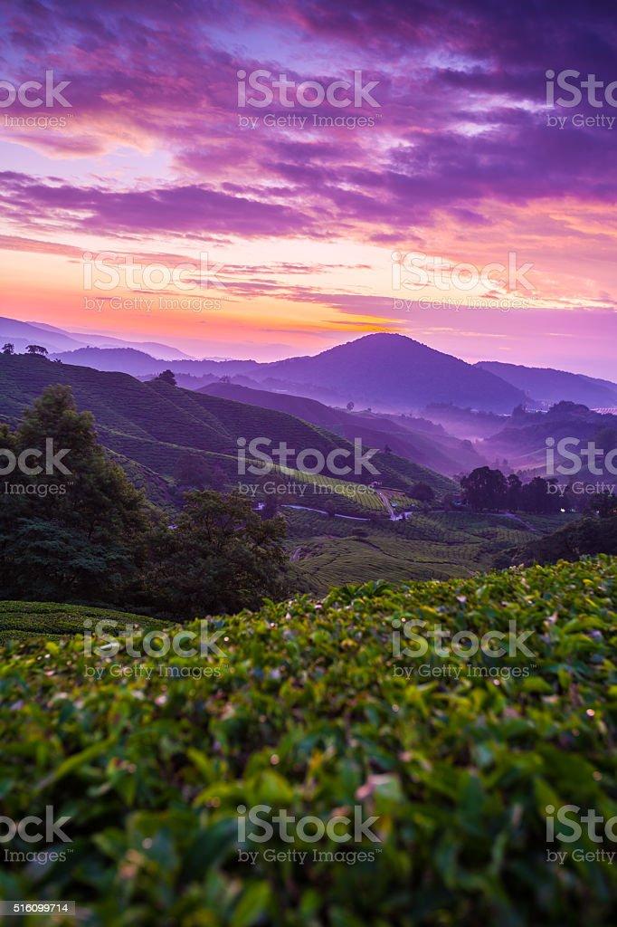 Cameron Highlands tea plantation at dawn with cloudy sky stock photo
