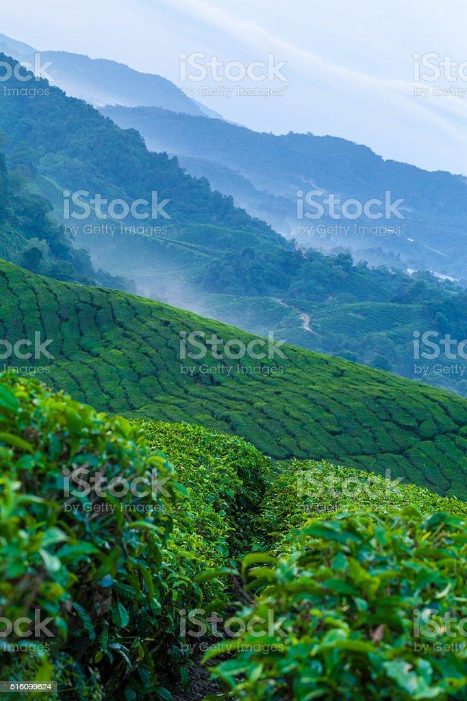 Cameron Highlands tea plantation in the morning mist stock photo