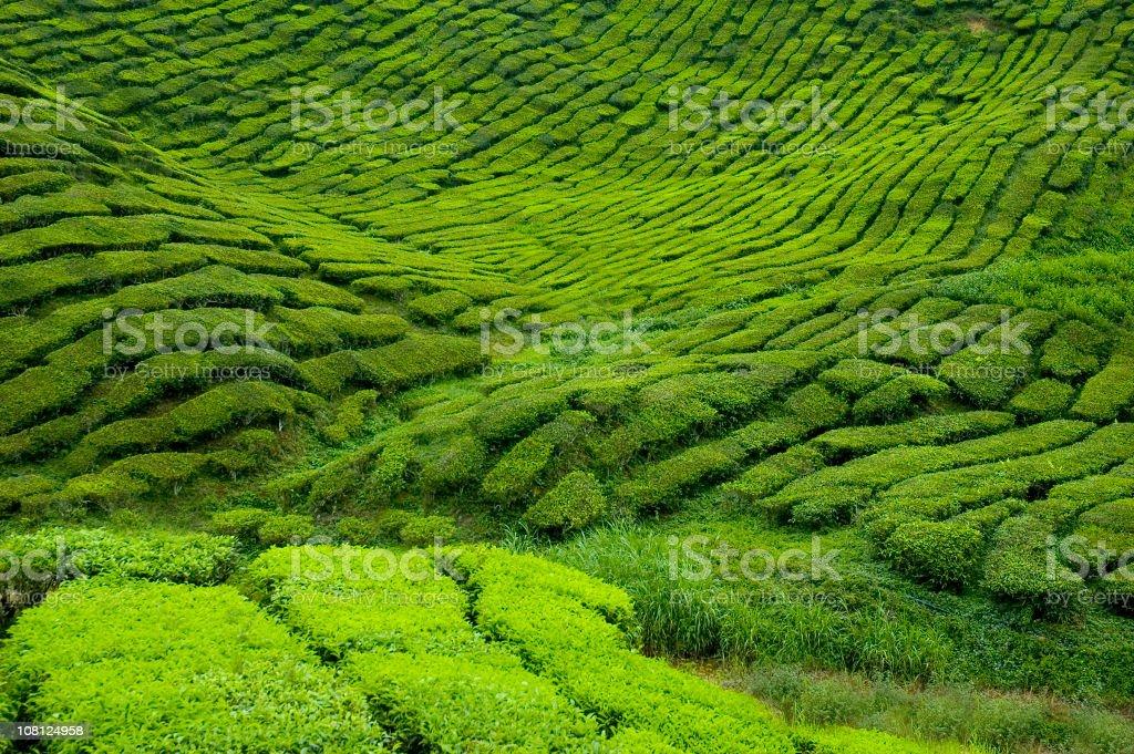 Cameron Valley Tea Farm royalty-free stock photo