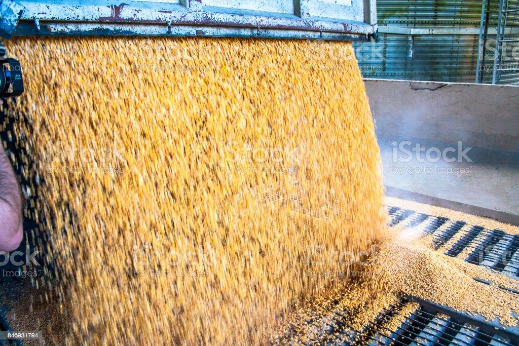 Caminhão faz uma descarga de milho em uma fábrica de ração animal no município de São José, SC. stock photo
