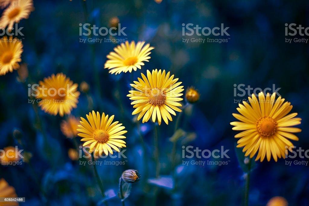 camomile. chamomel, daisy chain,  wheel. an aromatic European plant of stock photo