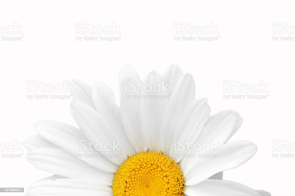 Camomile close-up. royalty-free stock photo