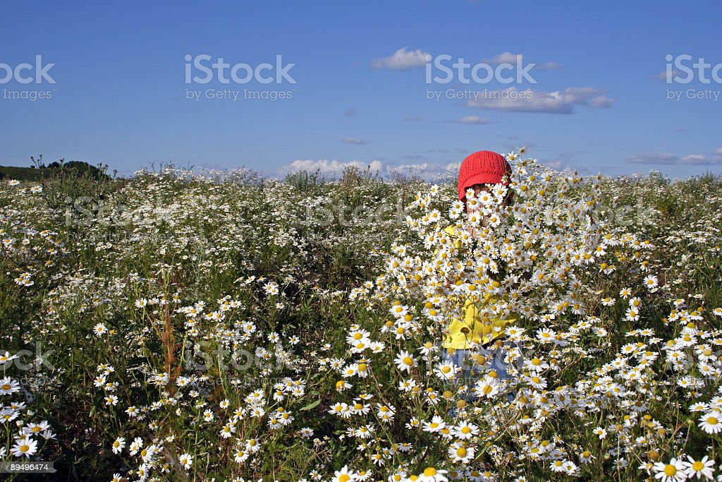 Camomile field foto royalty-free