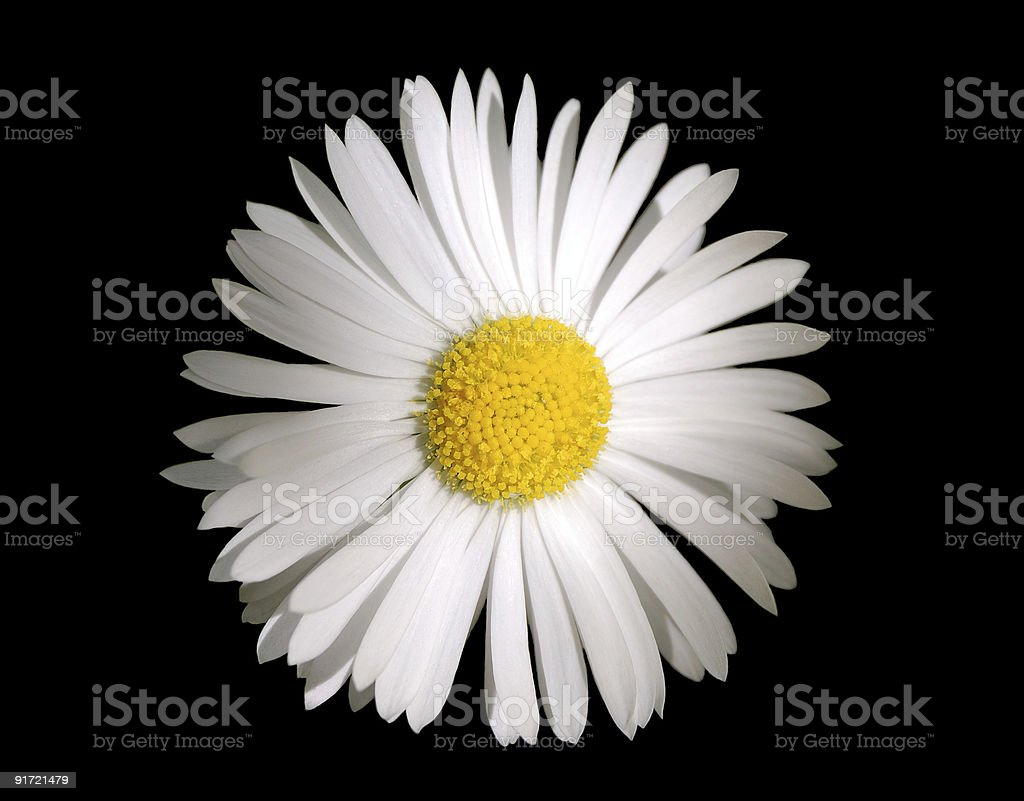 Camomile flower royalty-free stock photo