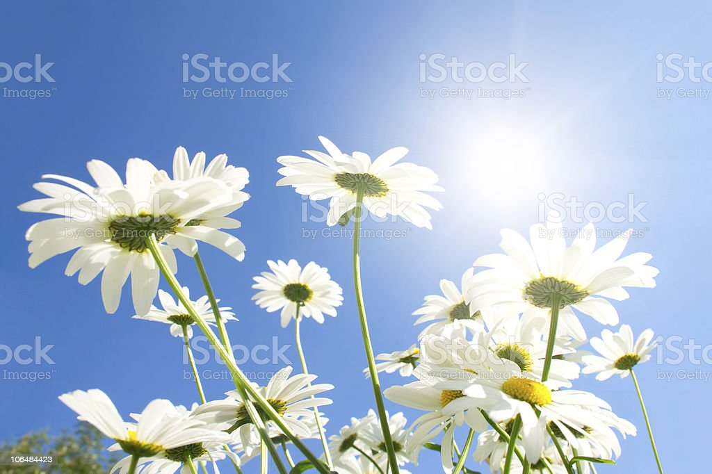 Camomile flowers in sun rays royalty-free stock photo