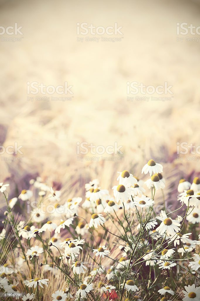 Camomile flowers in wheat field stock photo