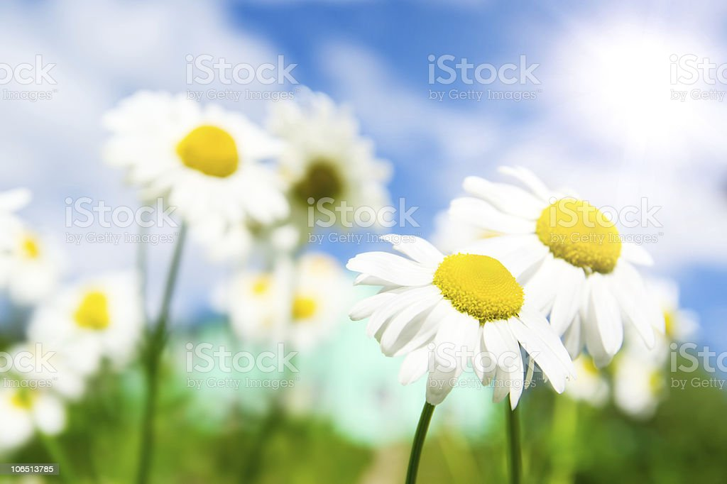 Camomile flowers on wide field royalty-free stock photo