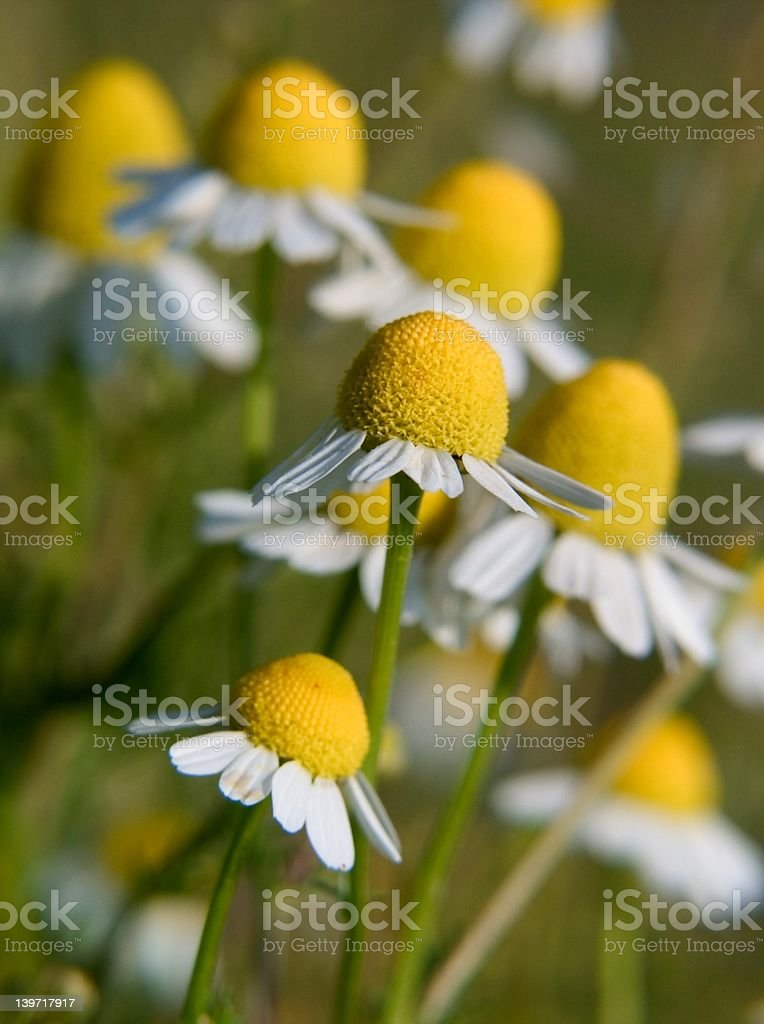 camomile flowers royalty-free stock photo