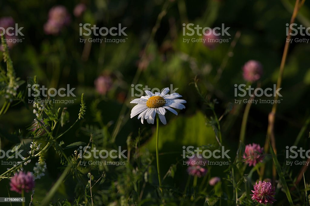 camomile in a field stock photo