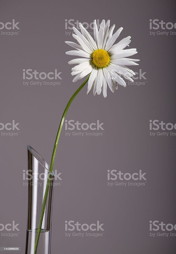 Camomile in jug royalty-free stock photo