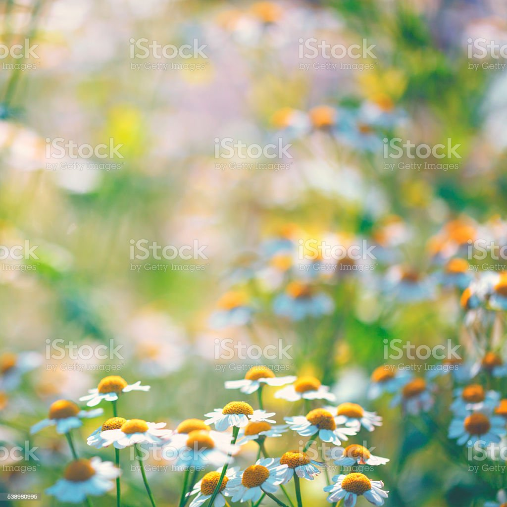 camomile in summer stock photo