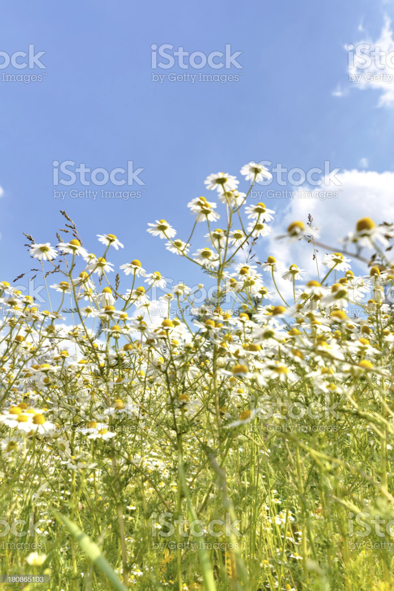 camomile meadow royalty-free stock photo