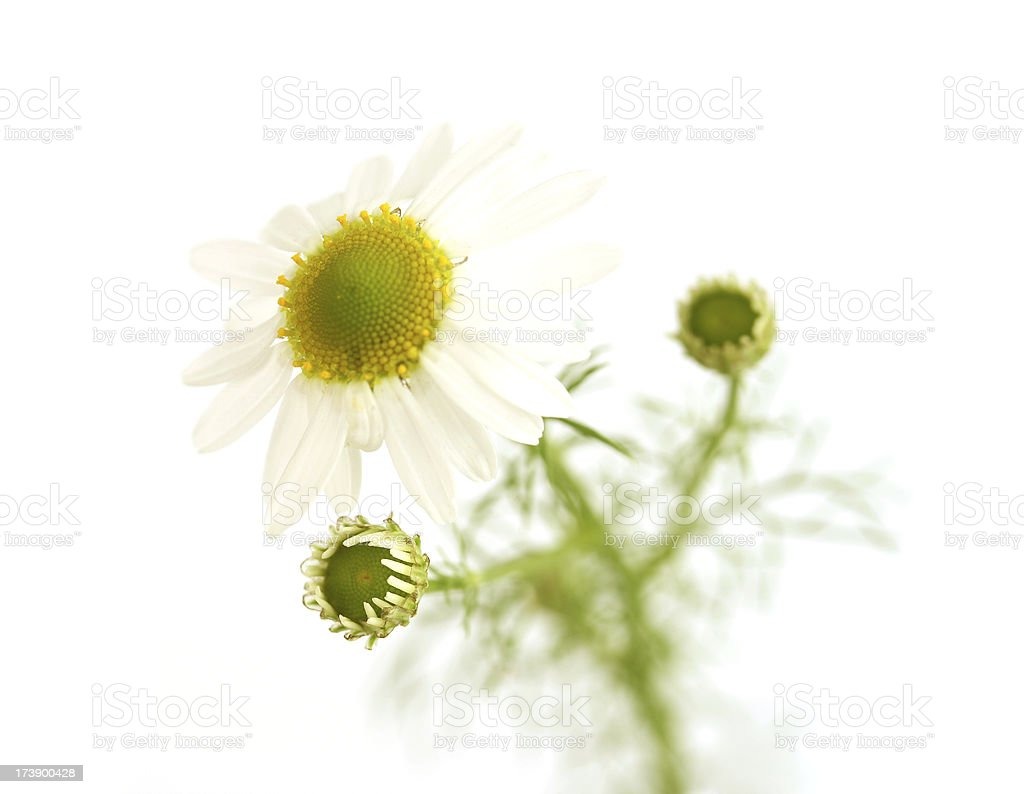 Camomile medical. royalty-free stock photo