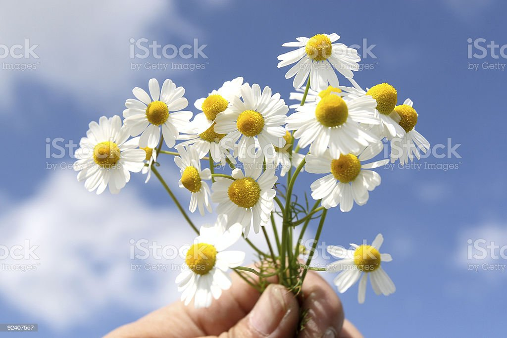 Camomile medicinal royalty-free stock photo