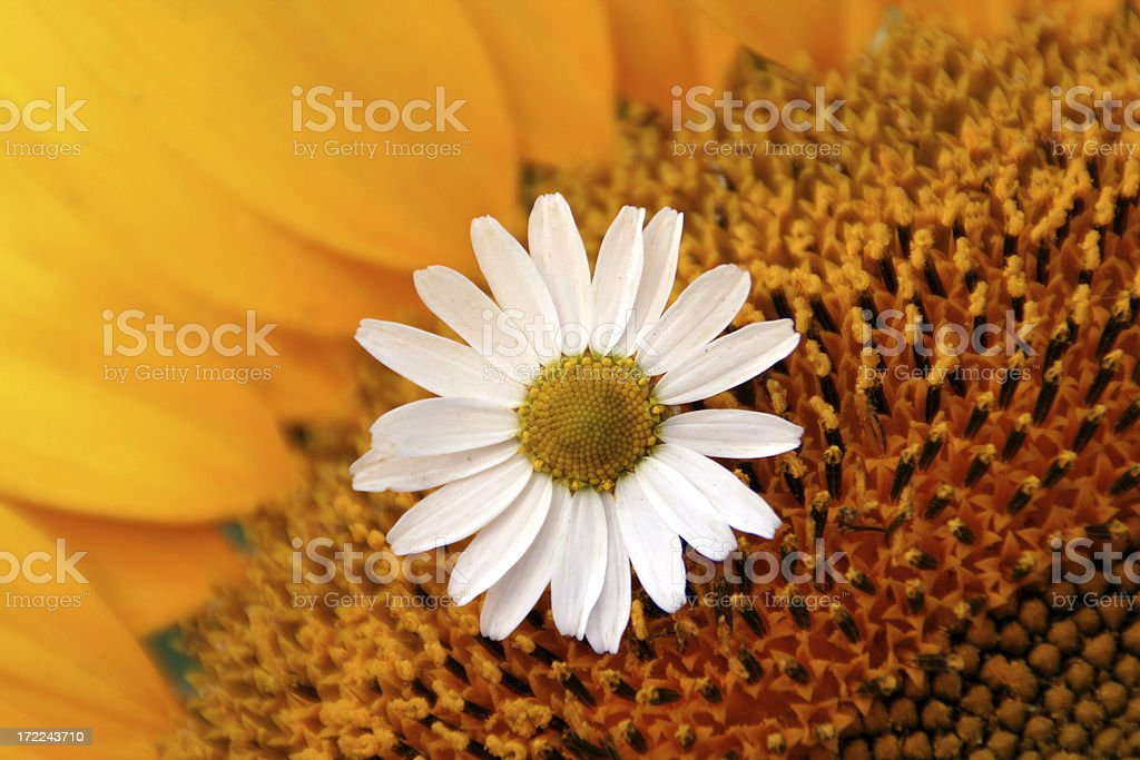 Camomile on sunflower royalty-free stock photo