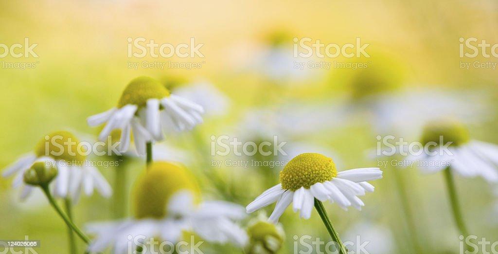 camomile stock photo