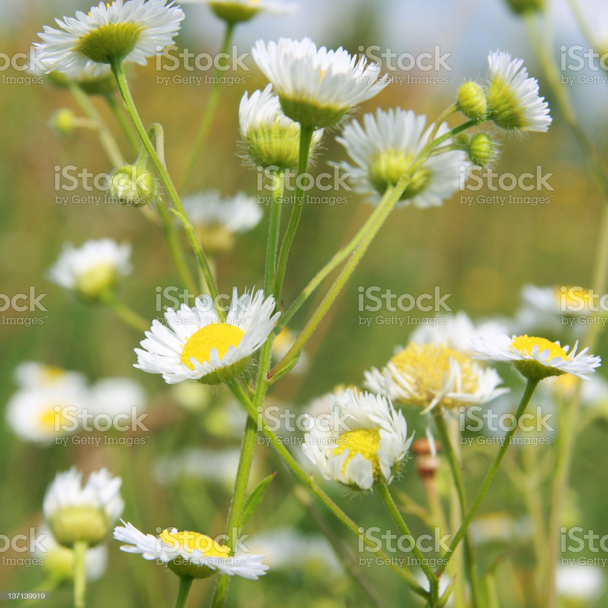 Camomile. royalty-free stock photo