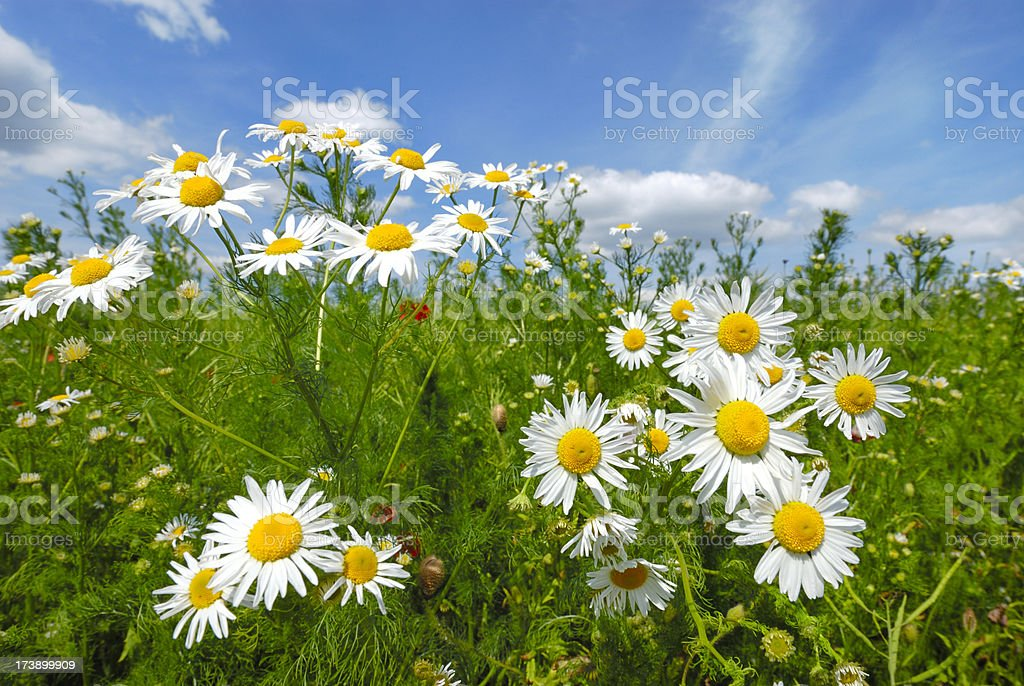 Camomile stock photo