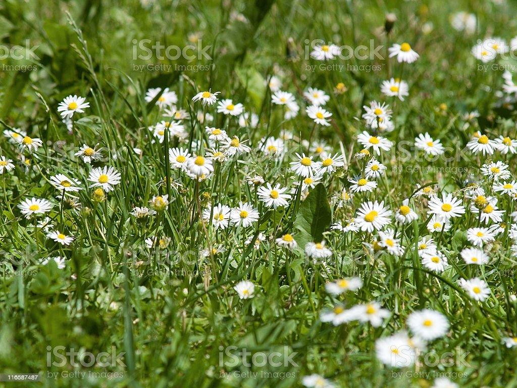 Camomile plants royalty-free stock photo
