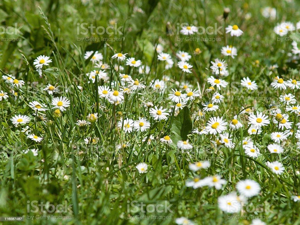 Camomile plants stock photo